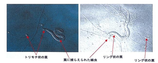 線虫捕食菌