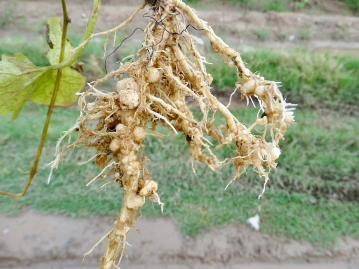 戦中による根の被害